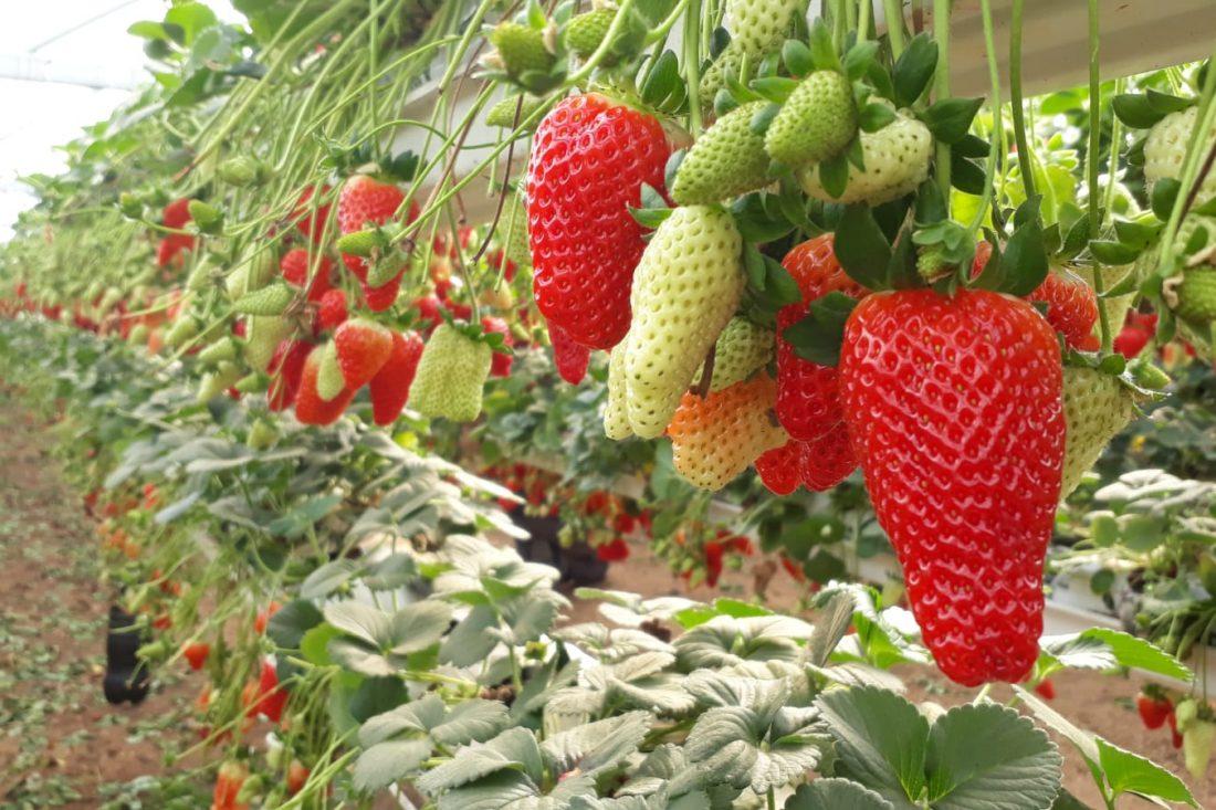 החיים שלנו תותים. צילום: אריאלה אפללו